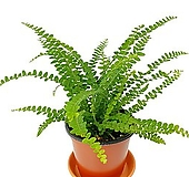 더피 공기정화식물|