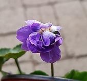 샤넬제비꽃 (겹향제비꽃) 
