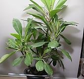 러브하와이 11번-높이110센치-루비, 상아색꽃-2주합식-동일품배송|