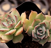 핑크팁스 군생 3-3208|Echeveria Pink Tips