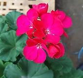 페라고향기제라늄-꽃분홍|