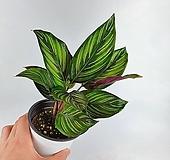 뷰티스타 칼라데아 공기정화식물 한빛농원|