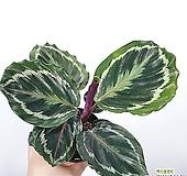 칼라데아 메달리온 공기정화식물 한빛농원|