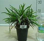 한국자생소엽풍란78번-자연산증식품-입엽성-향기죽음-동일품배송|