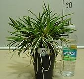 한국자생소엽풍란79번-자연산증식품-입엽성-향기죽음-동일품배송|