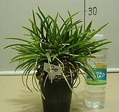 한국자생소엽풍란80번-자연산증식품-입엽성-향기죽음-동일품배송|