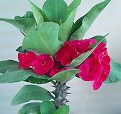 왕꽃기린꽃 전자파|