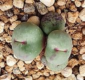 Conophytum pagae ssp 파가에 ssp|