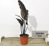 칼라데아 진저 공기정화식물 집에서키우기쉬운식물|