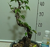월영매화3-달빛그림자-향기죽음-동일품배송|Echeveria elegans