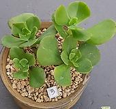 3홍매화 ㆍ화분포함|Echeveria Multicalulis  Ginmei Tennyo