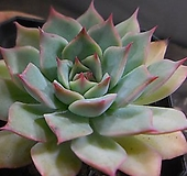 핑크팁스 913-1512|Echeveria Pink Tips