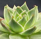 환엽 마르크스(수입)뿌리무290-0914|