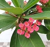 도희씨네 정원>> 사랑스런 핑크 자이언트 꽃기린 중형 269|