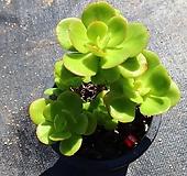 홍매화 010915|Echeveria Multicalulis  Ginmei Tennyo