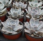 릴리시나묵은아이 0915-101 [랜덤발송] Echeveria lilacina