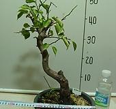 월영매화4-달빛그림자-향기죽음-동일품배송|Echeveria elegans
