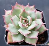 핑크팁스2943|Echeveria Pink Tips