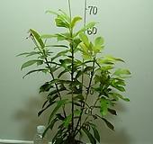 마타피아1-붉은매화꽃이 아름다워요-동일상품배송|