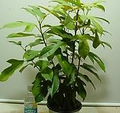 마타피아2-붉은매화꽃이 아름다워요-동일상품배송|