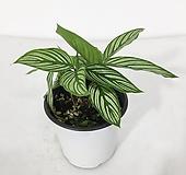 칼라데아 비타타 공기정화식물 화장실식물 식물인테리어|