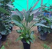 꽃피는 극락조 ( 3~4촉대 공기정화식물 키약110) 
