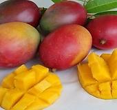 자가수정 애플망고트리 킹레드 화분상품♥왜성 망고나무 외목수형♥화분재배 최적화|