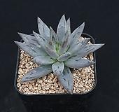 웅구아쿨라타 209-214|Echeveria unguiculata