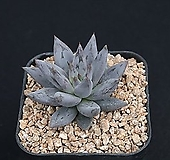 웅구아쿨라타 209-218|Echeveria unguiculata