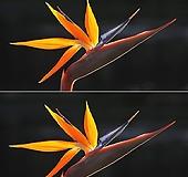 도희씨네 정원>> 신비로운 꽃을 피우는 극락조화 280 