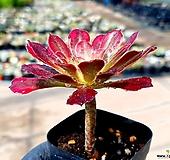 마리드금 55-418|Aeonium Marid