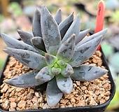 웅구아쿨라타8|Echeveria unguiculata
