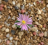 conophytum 데비움|Graptoveria Debbie