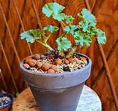 제라늄 묵은주모카토분세트(목대수형 좋아요/꽃 수시로 올라옵니다.)|pelargonium inquinans