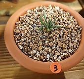 알스토니(실생)x919_토분포함|Avonia quinaria ssp Alstonii