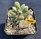 호피방울복랑금 Cotyledon orbiculata cv variegated