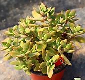 워터메리 940919|Crassula atropurpurea var. watermeyeri