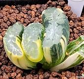 귀품종)대운옥선금 816|Haworthia truncata variegated