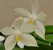 호접원종.B15번.P.tetraspis var.alba+sib실생.알바.흰색.순수백색.귀한품종.너무나예뻐요.아주좋은 향기가 끝내줍니다.~~|