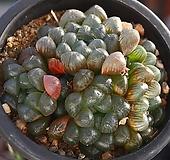 자옥로 1|Haworthia cooperi var obtusa (purple)