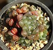 자옥로 3|Haworthia cooperi var obtusa (purple)