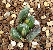정고금|Haworthia trumu