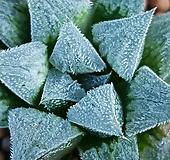 고급하월시아  위미메이져  많이없는품종입니다  없는분들빨리보셔요  970 산아래다육이|haworthia