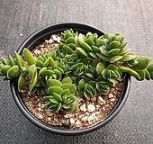 다비드 다육식물 9cm포트|Crassula cv. David
