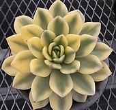 베로니카금 자구- 주성농원 (Echeveria agavoides variegated 'Veronica', offset)|