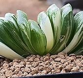 정고금 109-6920|Haworthia trumu
