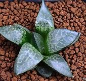 스콧 콤프토니아 H. Scott Comptonia 40|Haworthia comptonia