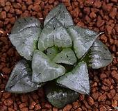 글라스 콤프토니아 Haworthia comptoni 41|Haworthia comptonia