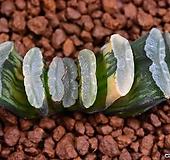 옥선금(일루미네이션) 49|Haworthia truncata variegated