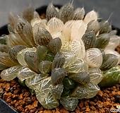호박옵투사금군생683-0921|Haworthia cymbiformis var. obtusa